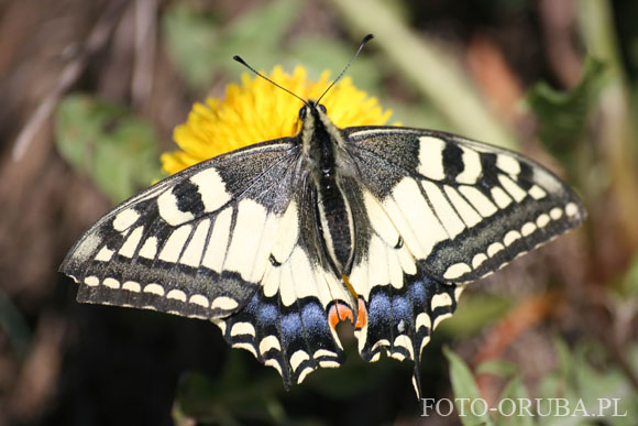 Paz krolowej  (Papilio machaon) 02.jpg